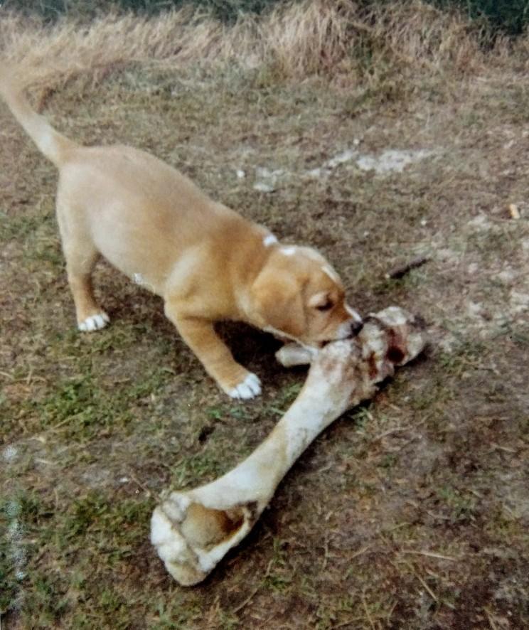 Labrador 1969